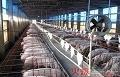 【养猪教育家】强!大蒜用好了还能治疗猪腹泻、不食、感冒、积食